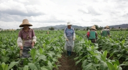 Photo of tobacco farming in fields