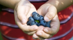 Photo of child holding blueberries