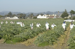 farm workers spraying pesticides on artichoke plants