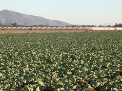 A large strawberry field in Oxnard, California.